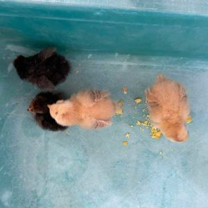 4 cute little hatchlings at Marys Schoolhouse